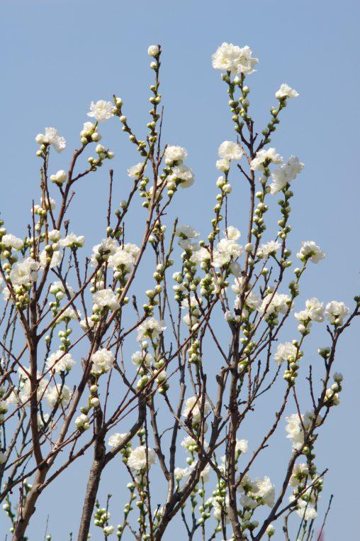 八重の桃 – Peach blossoms