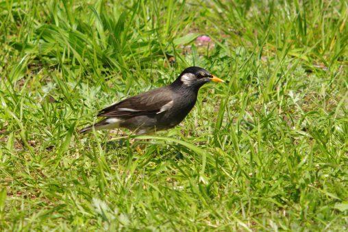 ムクドリ – Grey Starling