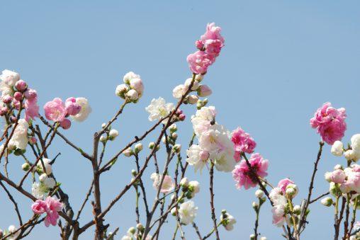 二色咲き – Pink and White