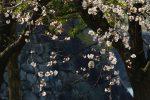 石垣と桜 – Sakura and Stonewall