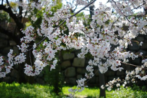 桜の城 – Sakura Castle