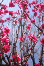 紅桃空に – Scarlet Peach blossoms