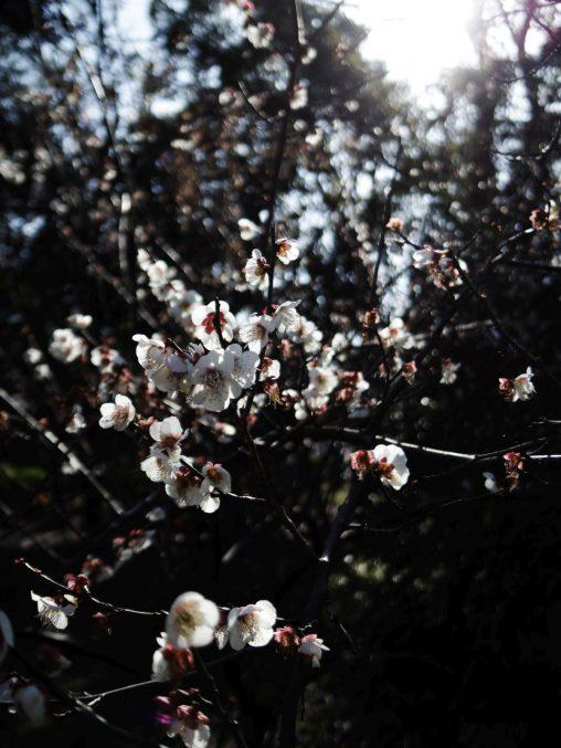 白梅 – White Plum flower