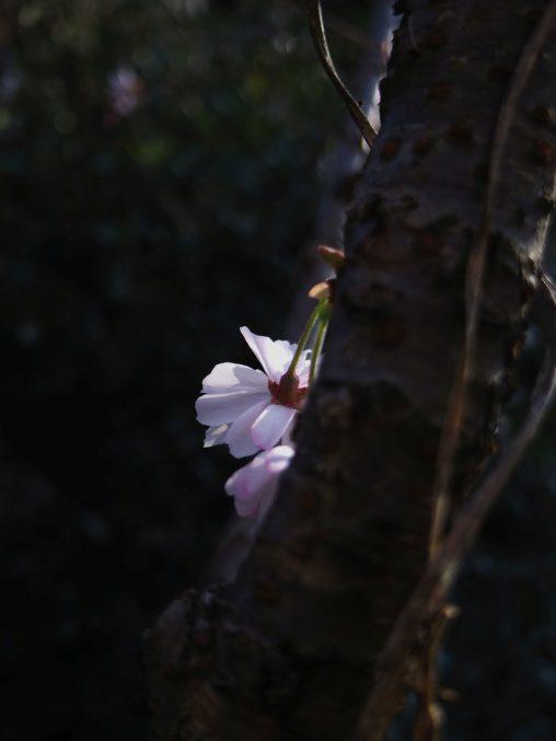後ろ姿 – Kawazu Sakura