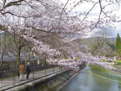 琵琶湖疏水の桜 – Sakura at Lake Biwa canal