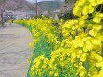 琵琶湖疏水の菜の花 – Canola flower at Lake Biwa canal