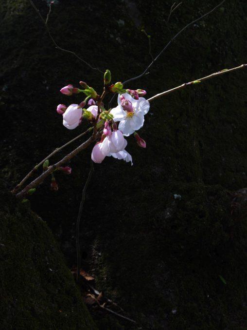 三分咲き一房 – Quarter-bloomed Sakura
