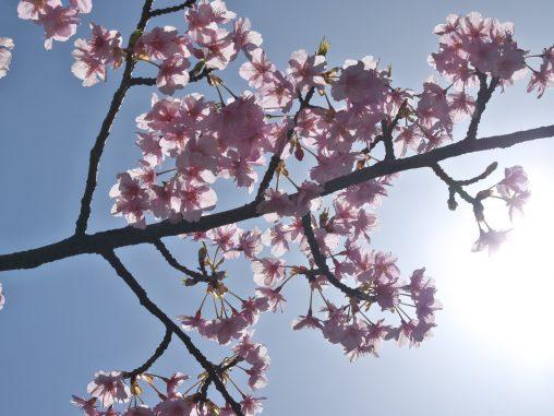 空に河津桜 – Kawazu Sakura