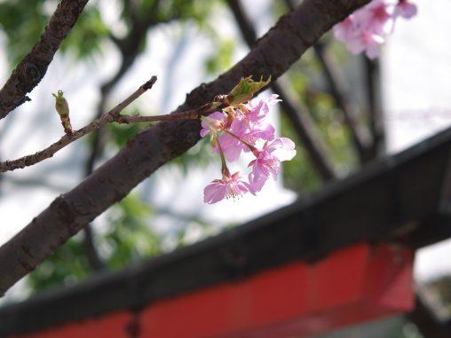 鳥居に河津桜 – Kawazu Sakura