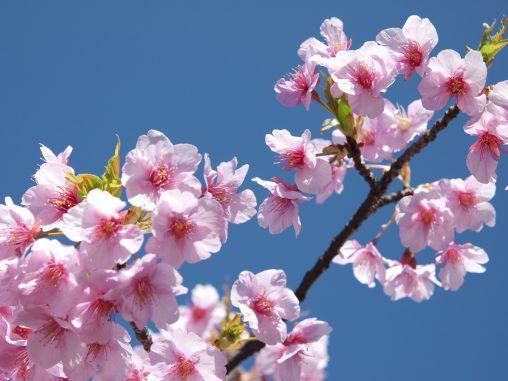河津桜 – Kawazu Sakura