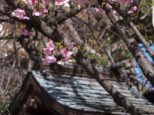 お社に河津桜 – Kawazu Sakura at Shrine