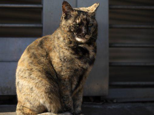 キリっとサビ猫 – Tortoiseshell cat