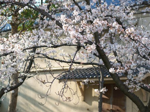 倉と桜 – Storehouse and Sakura