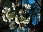 桜の小枝 – Branch of Sakura