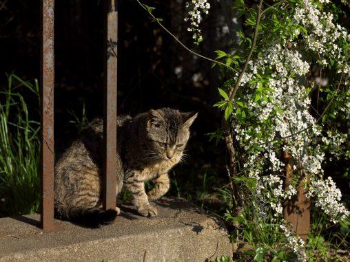 猫とユキヤナギ – Thunberg's meadowsweet and a Cat