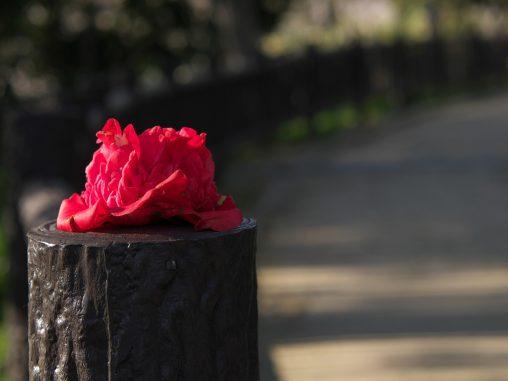 乗せられ椿 – Fallen Camellia