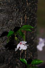 夜の残り桜 – Leftover sakura