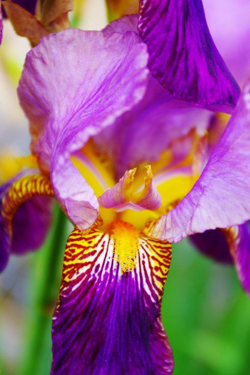 アヤメ – Siberian iris