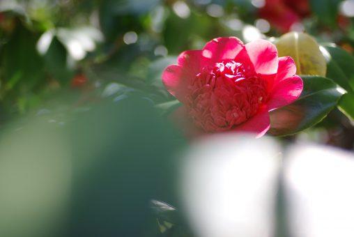 唐子咲き椿 – Camellia