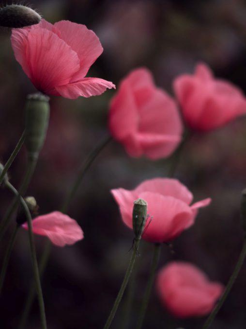 ナガミヒナゲシ – Long-headed poppy