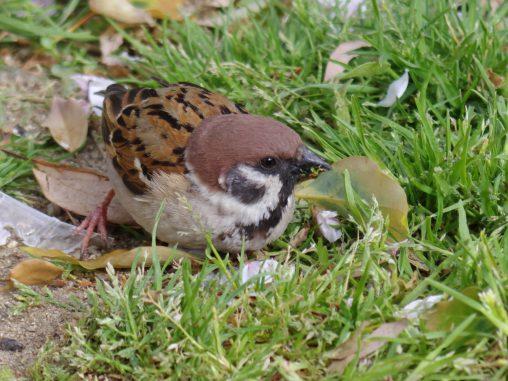 スズメ – Tree Sparrow