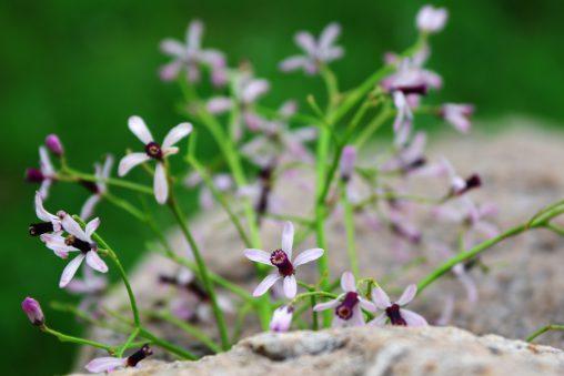 岩間の栴檀 – Chinaberry
