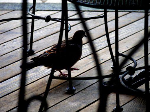 闊歩 – Eastern turtle dove