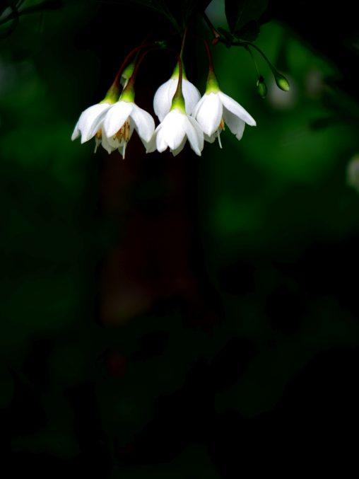 エゴノキ – Japanese snowbell