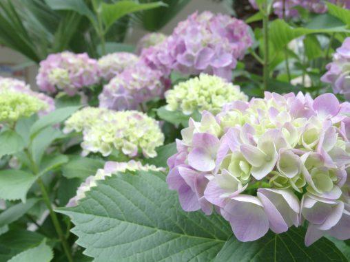 薄色 – Hydrangeas