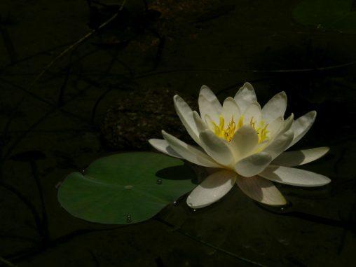 白蓮 – White Lotus