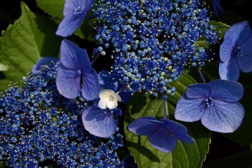 白小花 – Hydrangeas