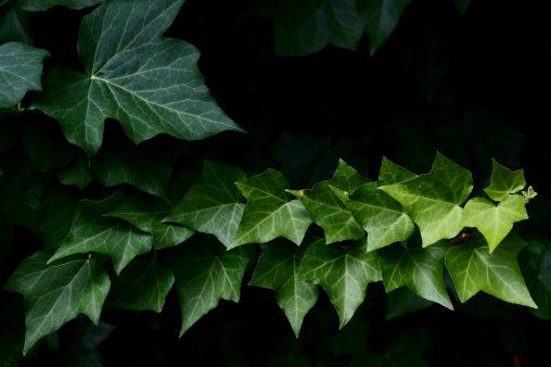 背伸び – Straight ivy