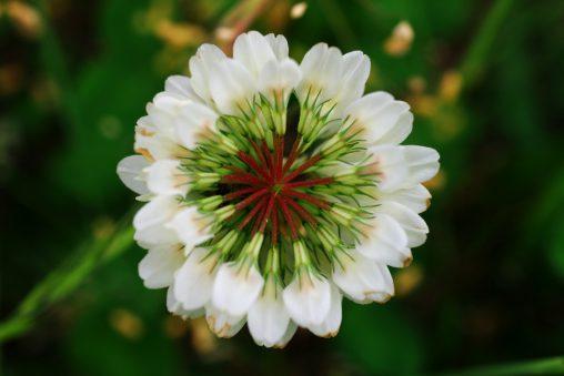 シロツメクサ – White clover