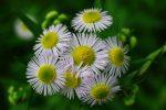 やけに多いヒメジョオン – Eastern daisy