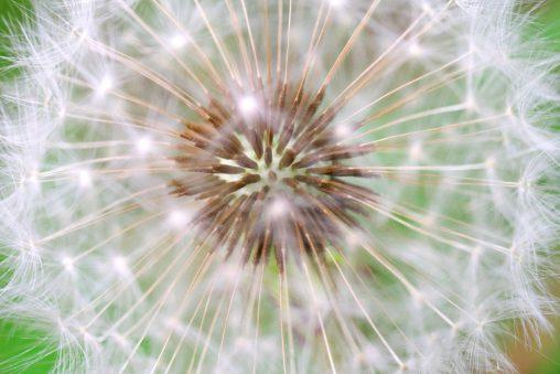 綿毛 – Dandelion seedhead