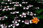 橙一点 – Orange lily with Hydrangeas