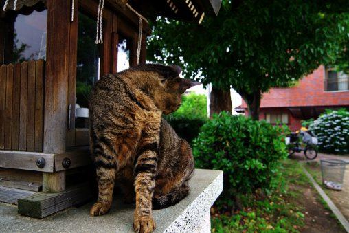 お社の番猫 – Cat at Shrine