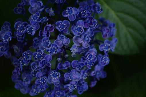 ウズアジサイ(3枚) – Hydrangea (3 pics)