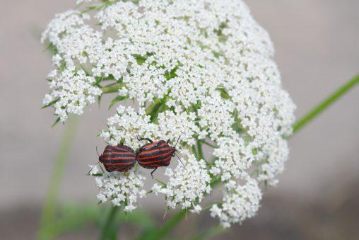 ノラニンジンにアカスジカメムシ – Minstrel bug on carrot flower