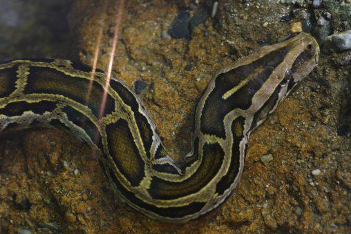 インドニシキヘビ – Indian Python