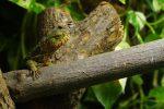 チュウゴクワニトカゲ – Chinese crocodile lizard