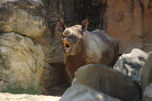 笑うクロサイ – Black rhinoceros