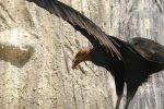 キガシラコンドル – Lesser Yellow-headed Vulture