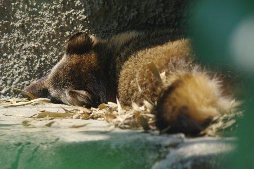 寝タヌキ – Racoon dog