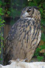 ワシミミズク – Eurasian eagle-owl