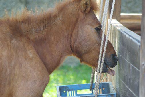 野間馬ぺろり – Noma horse