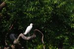 コサギ – Little egret