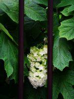 獄中花 – Oakleaf hydrangea