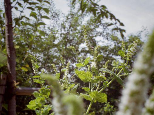 スペアミント – Spearmint flower