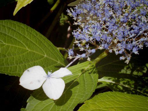 お控えなすって – Old Hydrangea flower